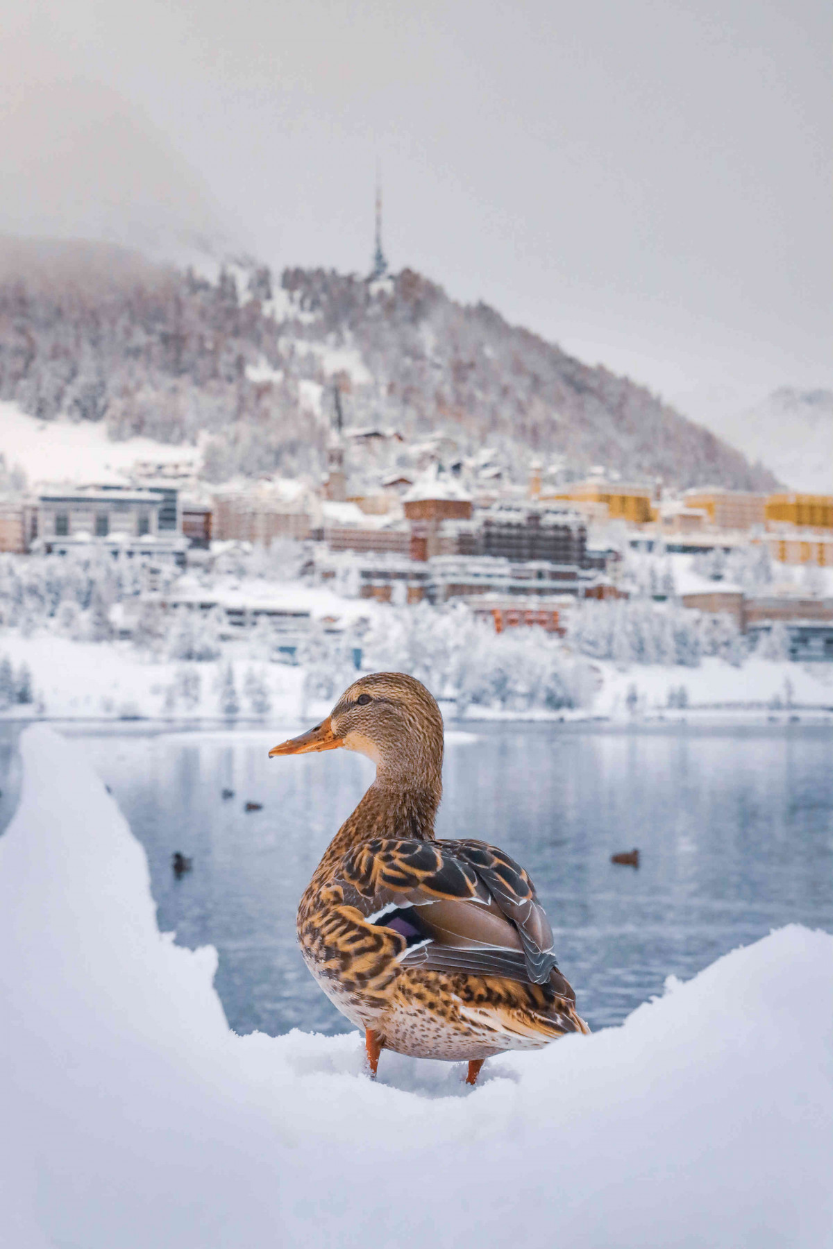 Winter picture of duck at the lake in St Moritz
